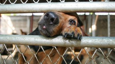 A stray dog pushes its nose through a cage after being treated at the Home for Handicapped Animals Foundation in Bangkok January 24, 2006. The foundation's president, Sataporn Deepa, urged Thai people to donate more money to the foundation for stray dogs saying it would bring them good luck and prosperity in the Year of the Dog. REUTERS/Chaiwat Subprasom                       (Foto: Chaiwat Subprasom)