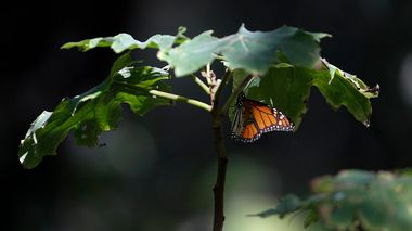 A monarch butterfly rests on a plant in the winter nesting grounds of El Rosario Sanctuary, near Ocampo, Michoacan state, Mexico, Friday, Jan. 31, 2020. Hundreds of farmers and agricultural workers attended the funeral of Homero Gomez Gonzalez on Friday, and the homage to the anti-logging activist was like a tribute to the monarch butterfly he so staunchly defended.(AP Photo/Rebecca Blackwell)                       (Foto: Rebecca Blackwell)